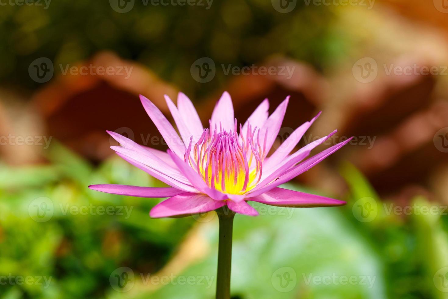 fiore di loto viola in fiore foto