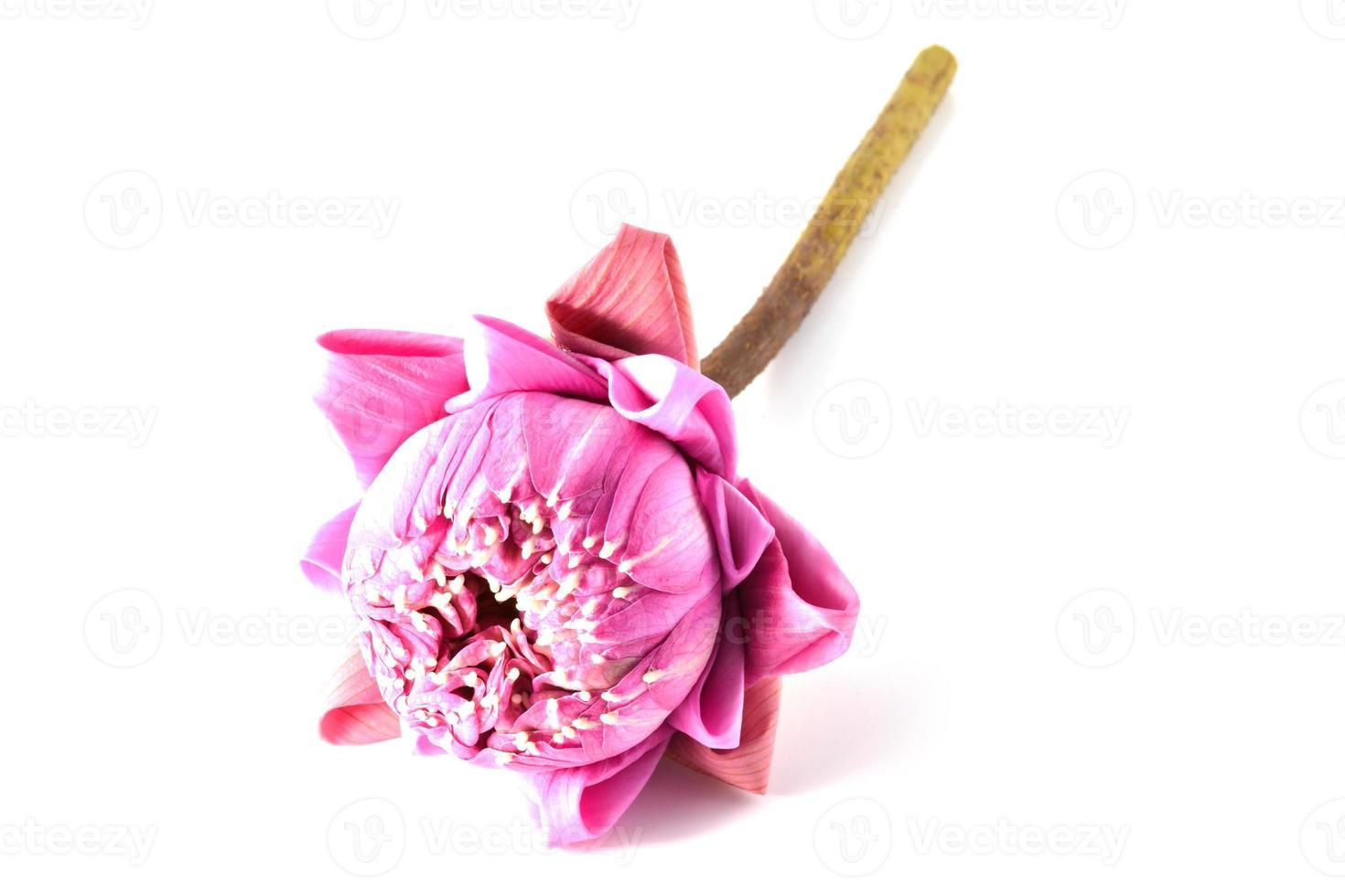 loto rosa su uno sfondo bianco isolato foto