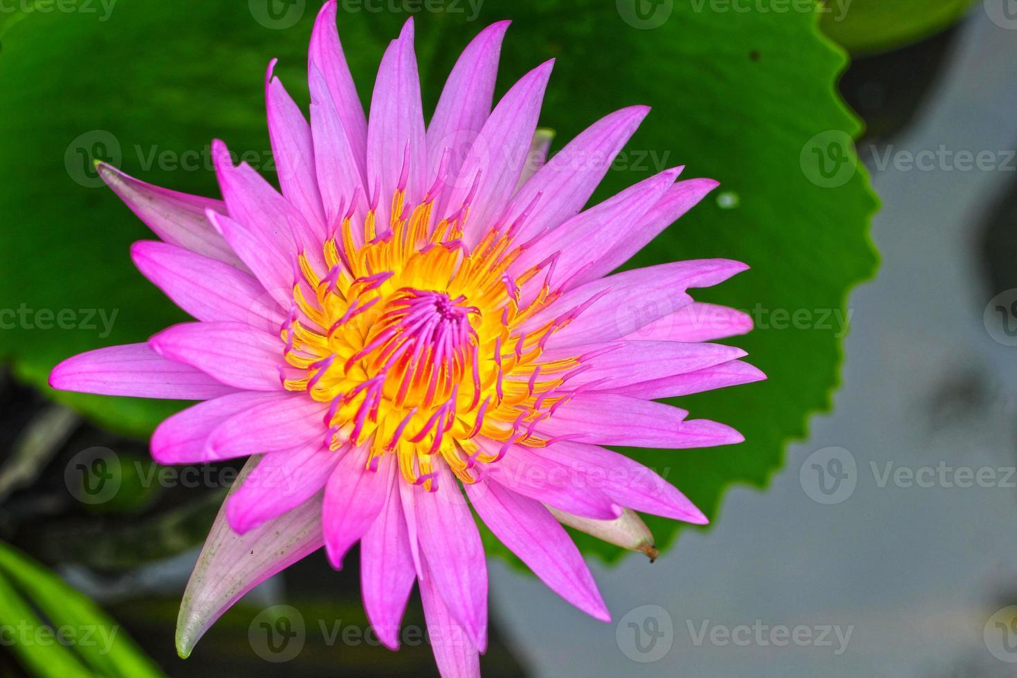 fiore di loto - fiore viola nella natura foto
