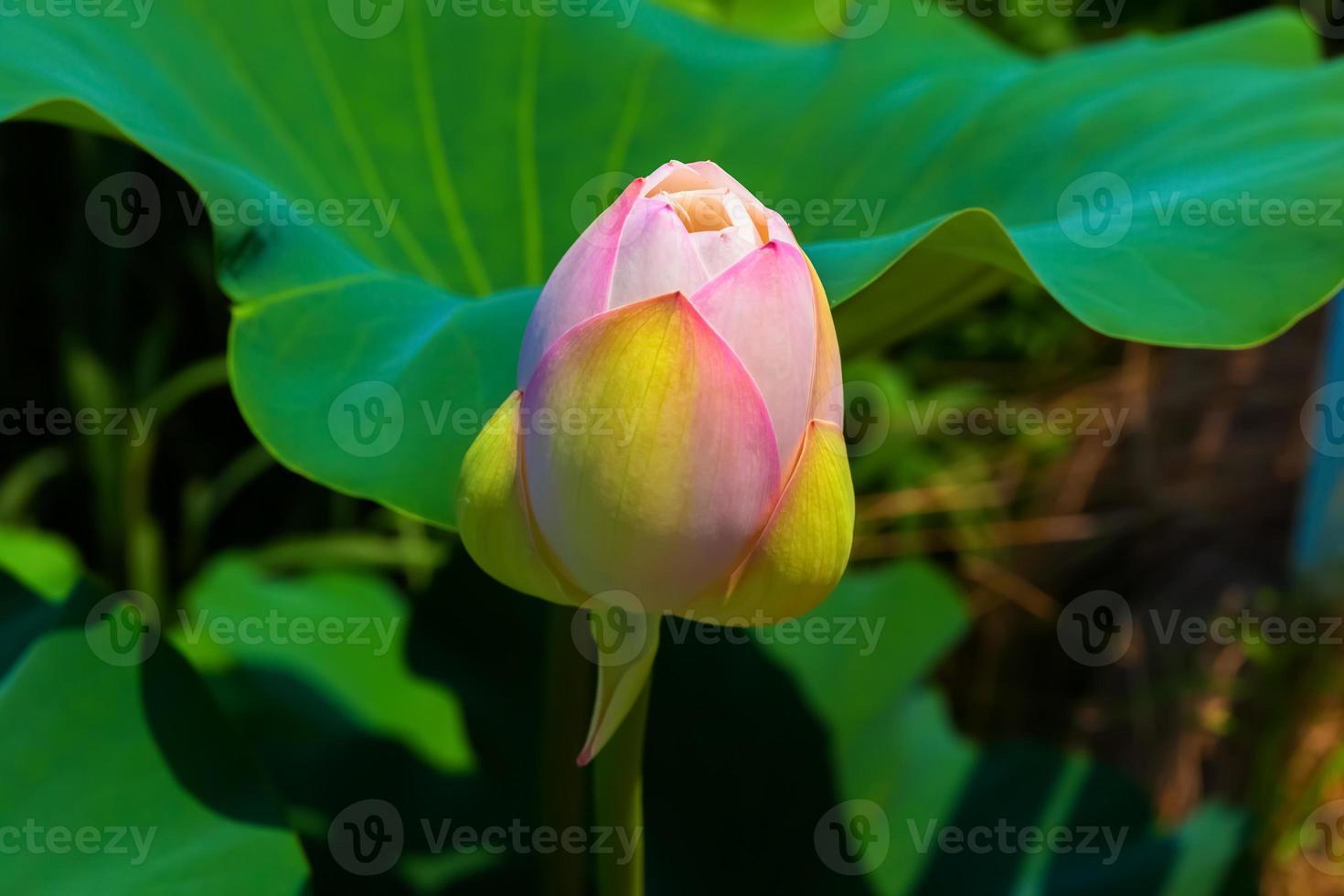 bocciolo del fiore di loto bianco foto