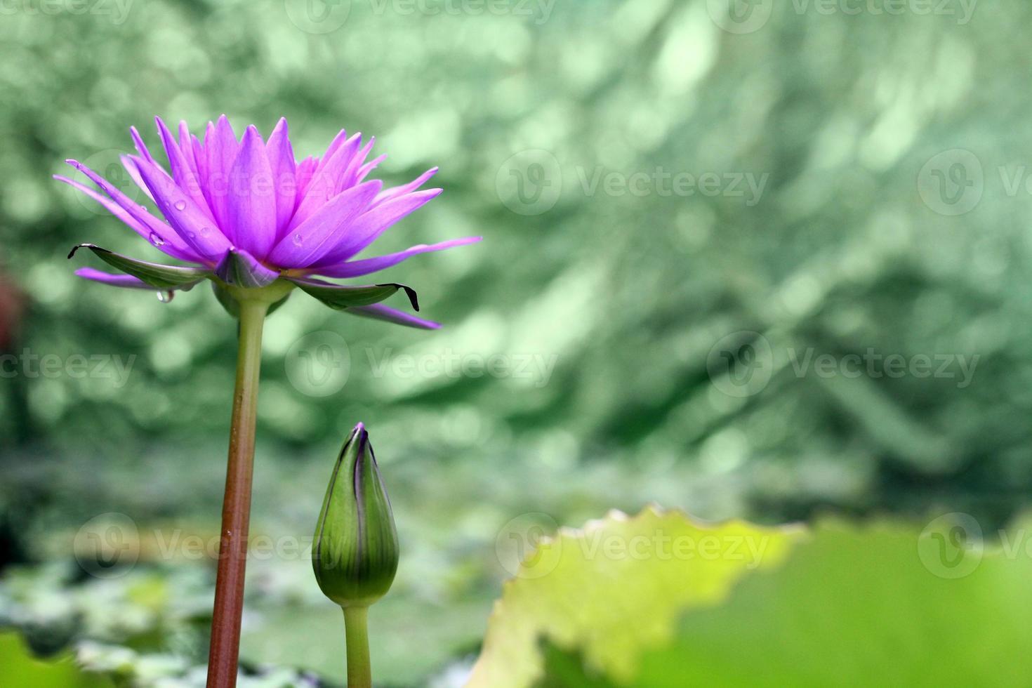 fiore di loto con sfondo verde bokeh foto