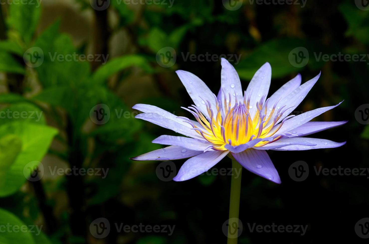 fiore di loto blu sullo stagno foto