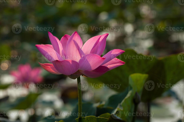 bellissimo fiore di loto (hoa sen) in fiore foto