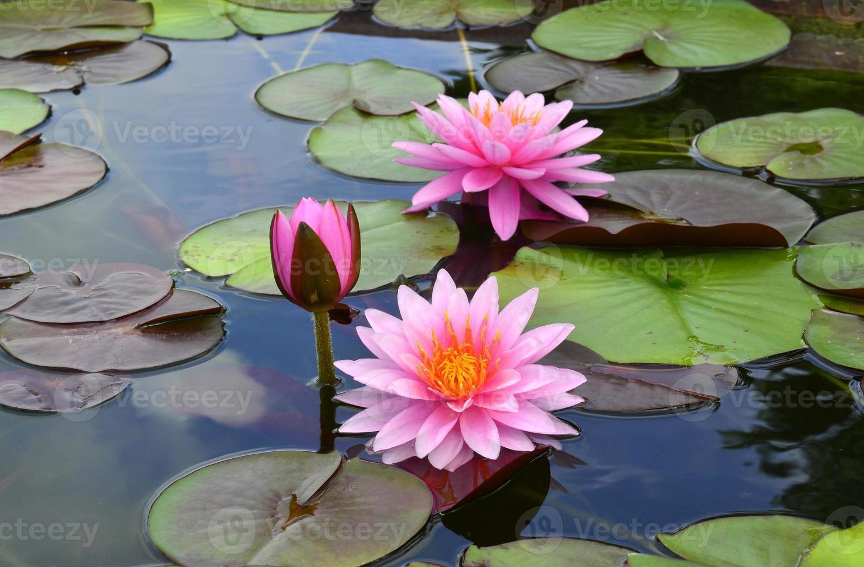 tripli fiori di loto circondati dalle sue foglie multicolori foto