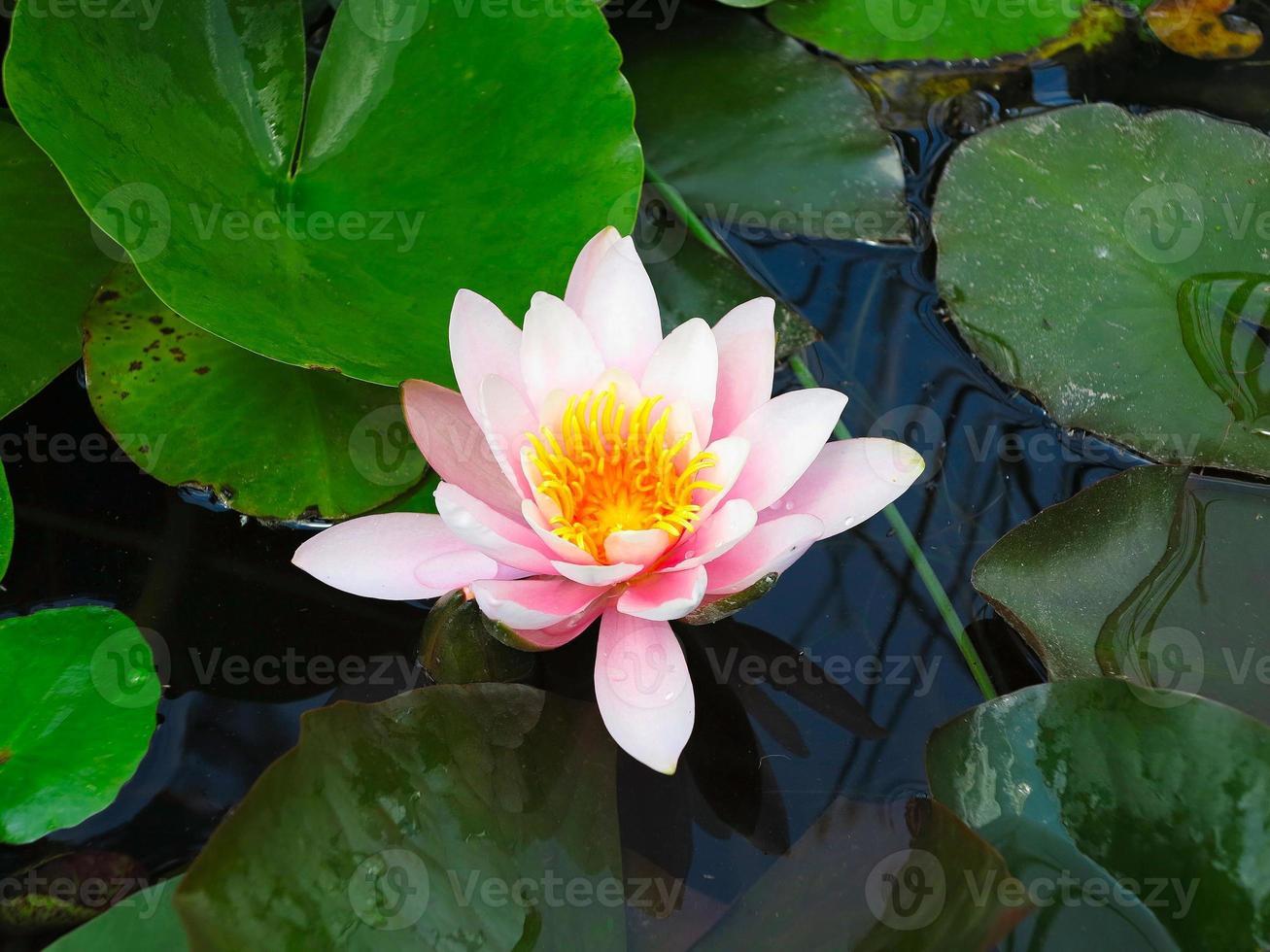 bellissimo fiore di loto rosa ninfea in foglie verdi dello stagno foto