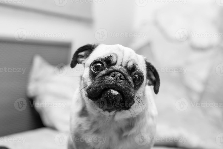 mops ritratto, fotografia in bianco e nero foto