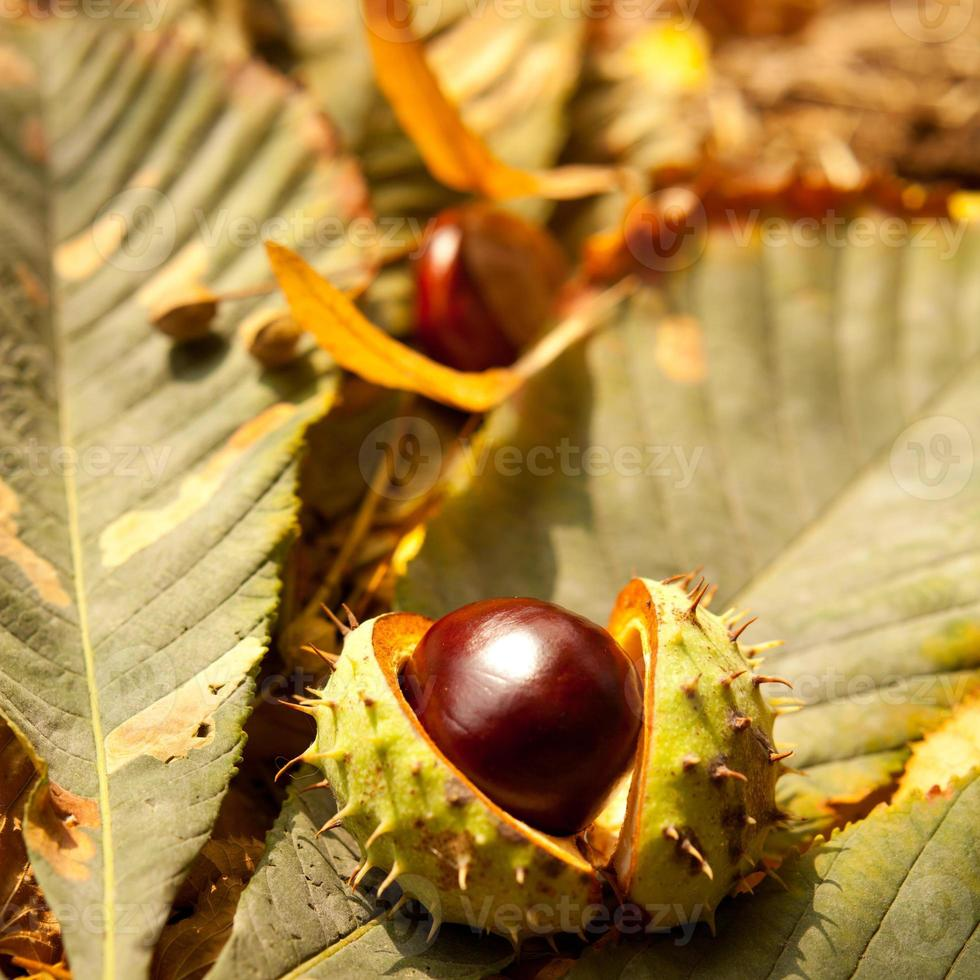 autunno conkers foto