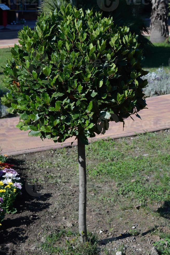 albero di alloro nel parco foto