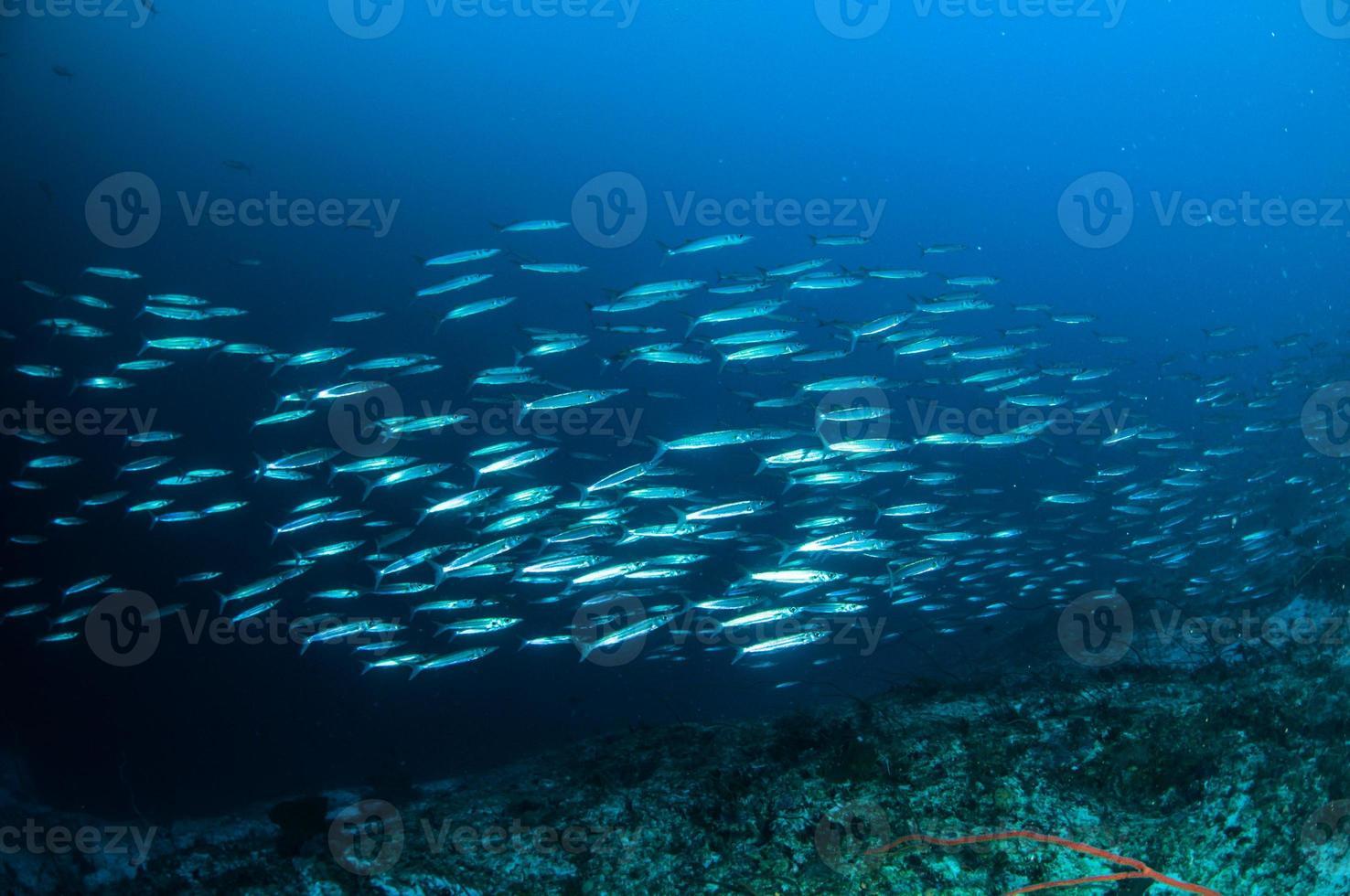 scolaro pesce barracuda kapoposang indonesia subacquea subacqueo foto