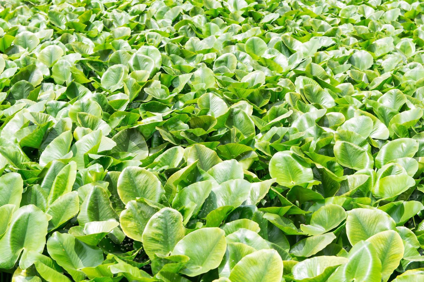 eichhornia crassipes foto