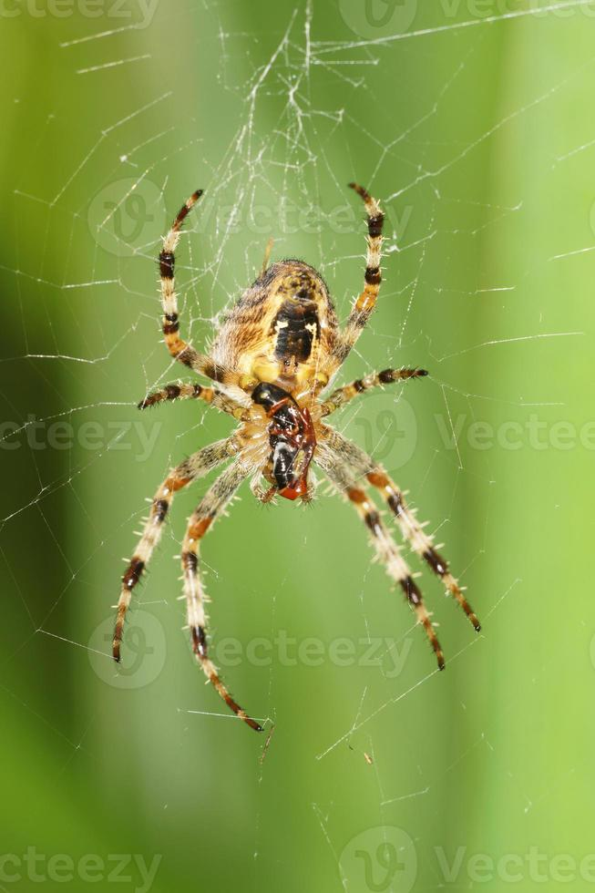 ragno da giardino foto