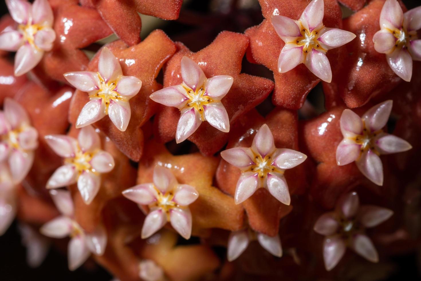 primo piano rosso del fiore di hoya foto