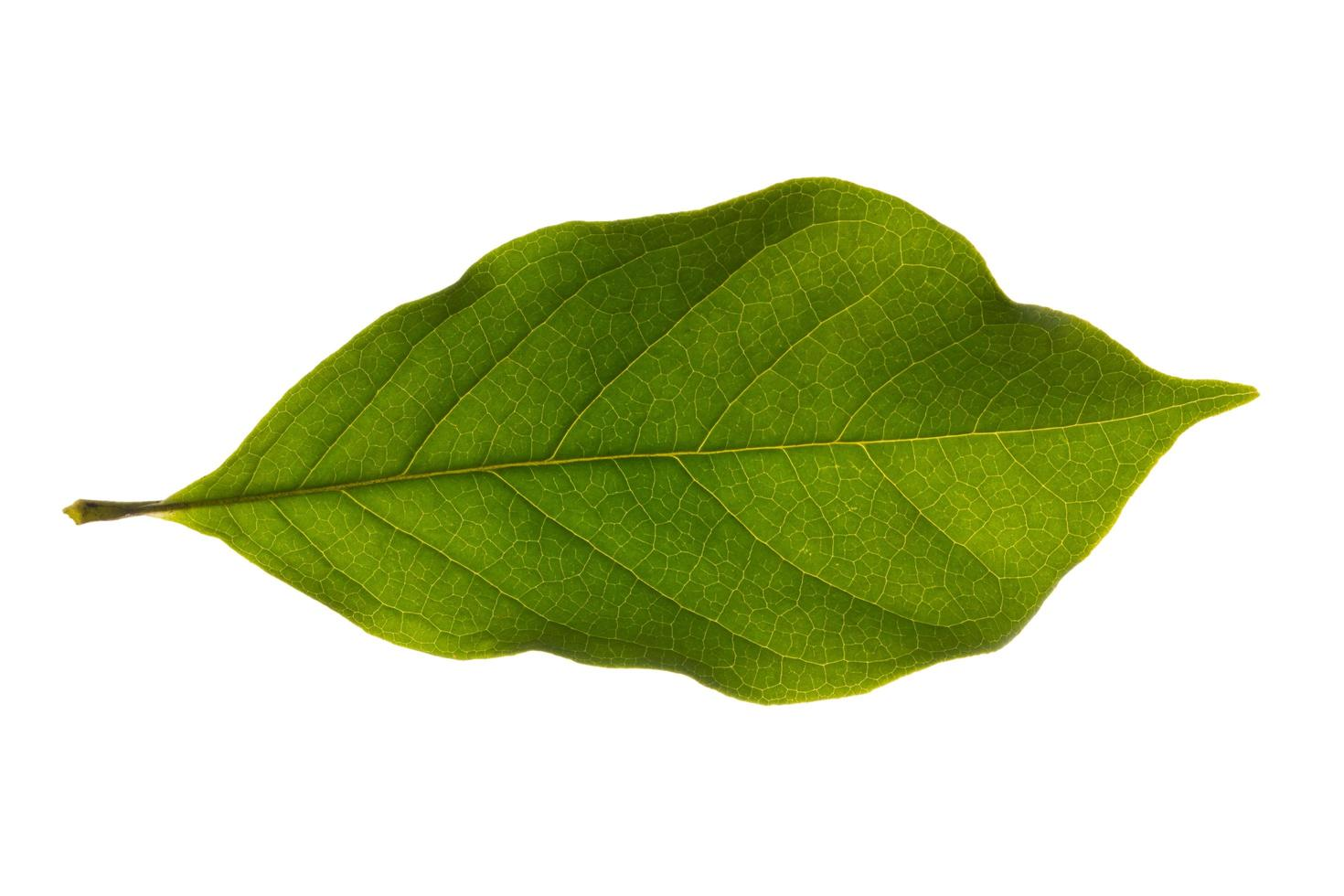 foglia verde su sfondo bianco foto