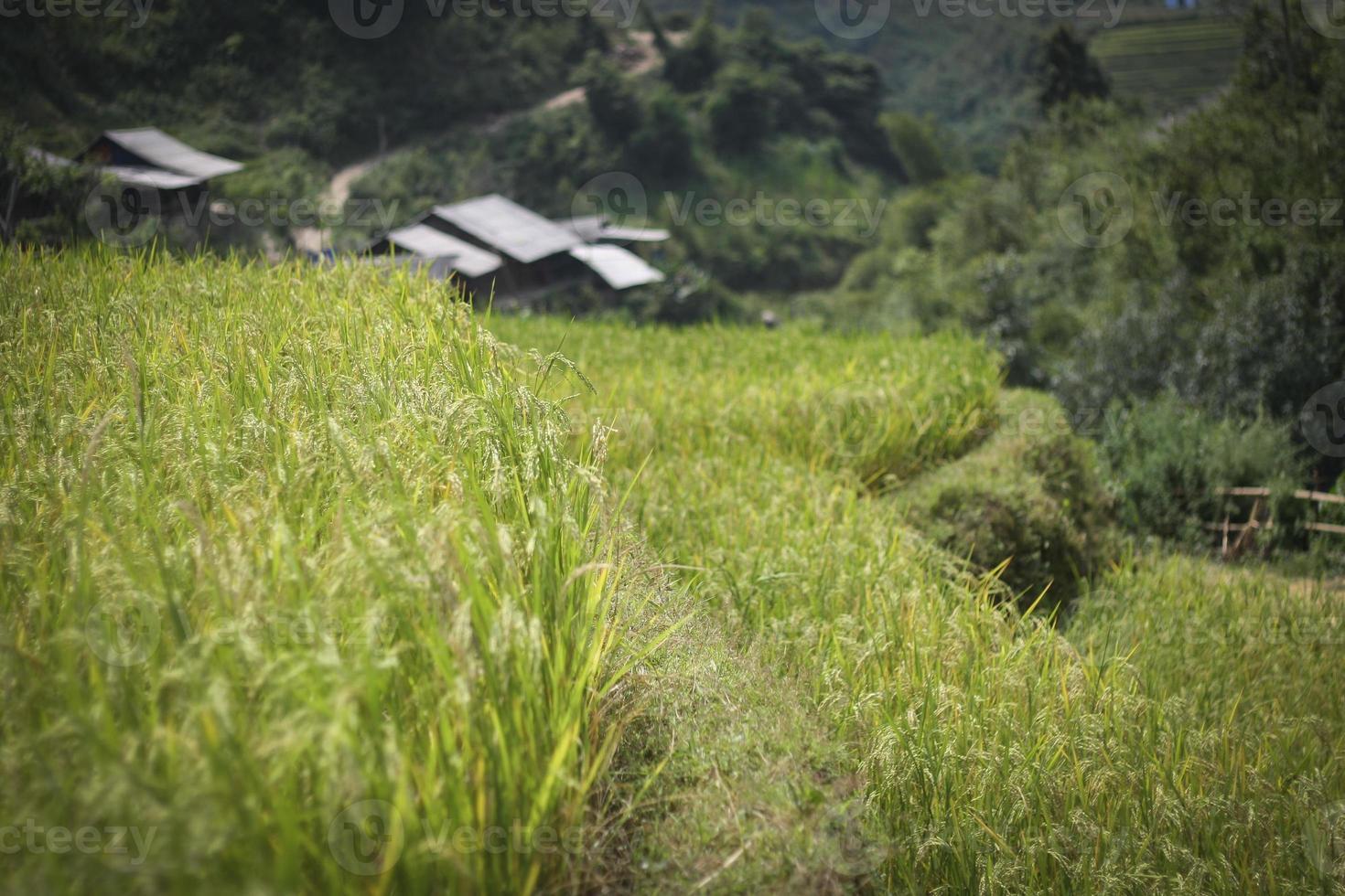 i campi terrazzati stanno maturando nel Vietnam settentrionale foto