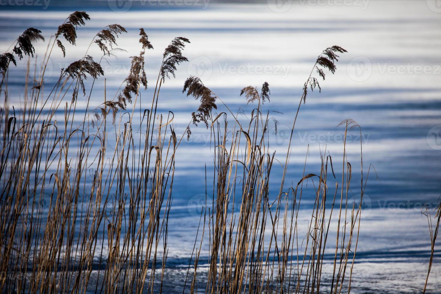 erba secca nel periodo invernale, Polonia. foto
