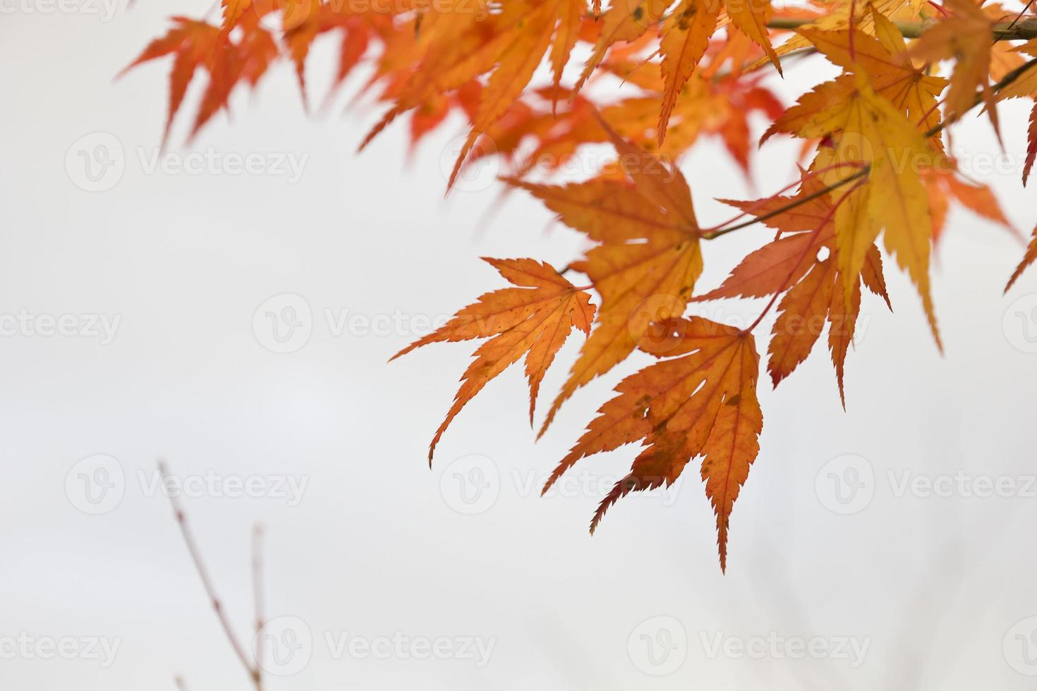 foglie di acero arancione foto