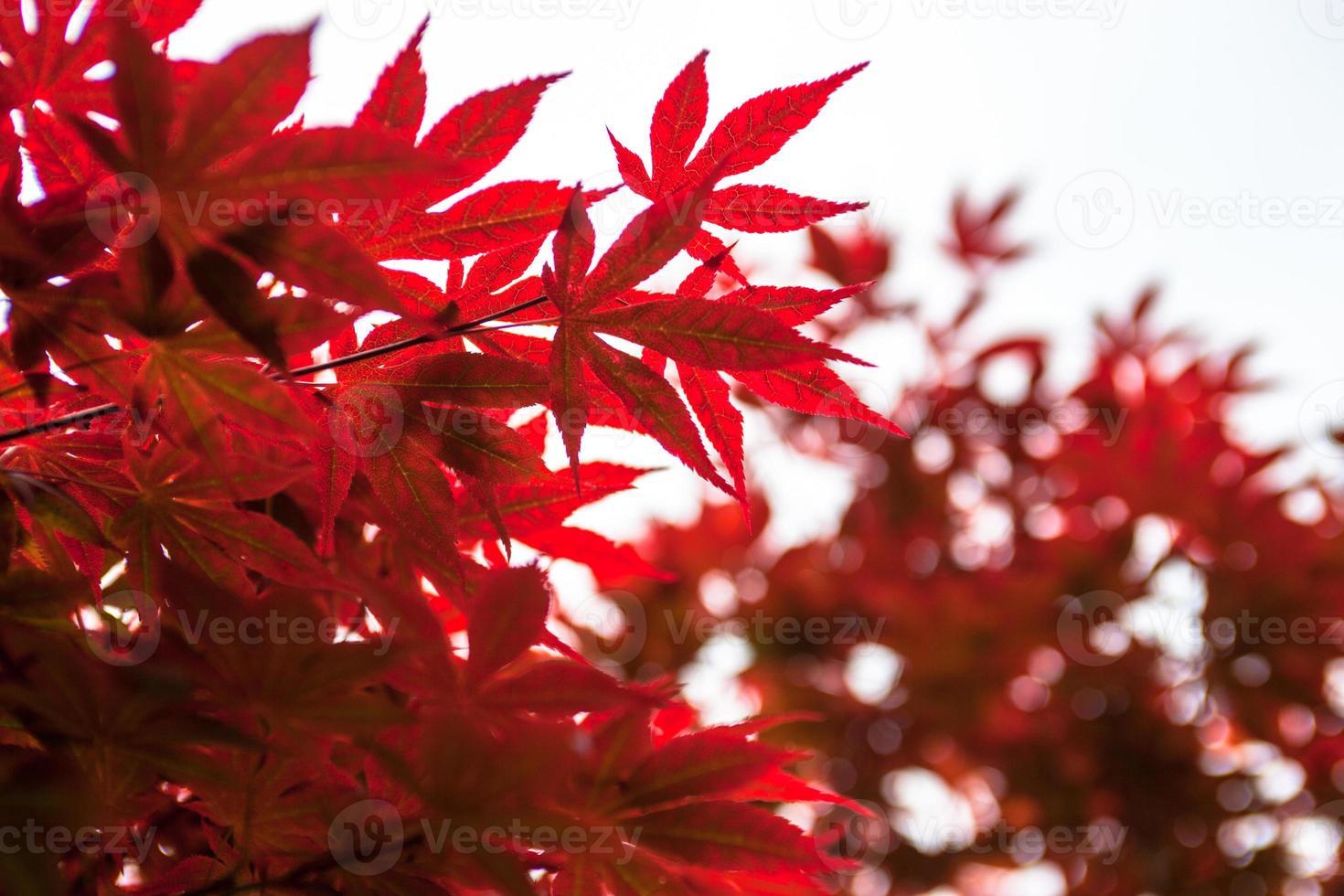 foglie rosa dell'acero giapponese (acer palmatum) foto