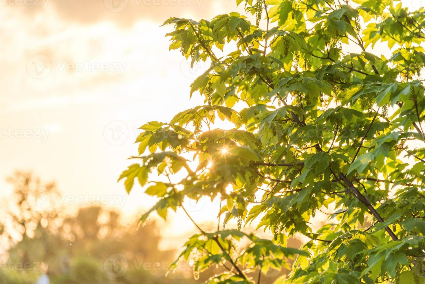 albero di acero al tramonto foto