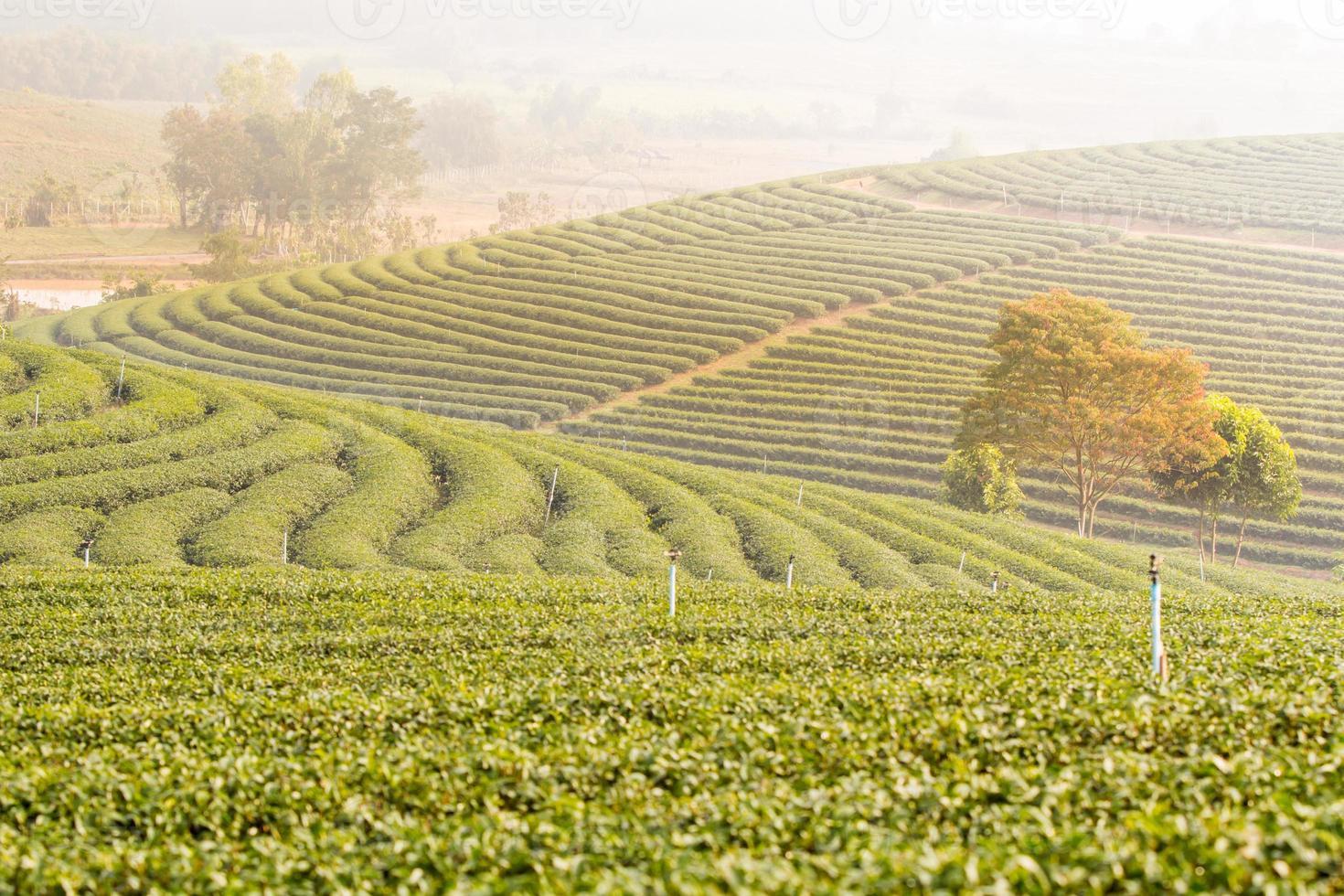 piantagione di tè verde. foto