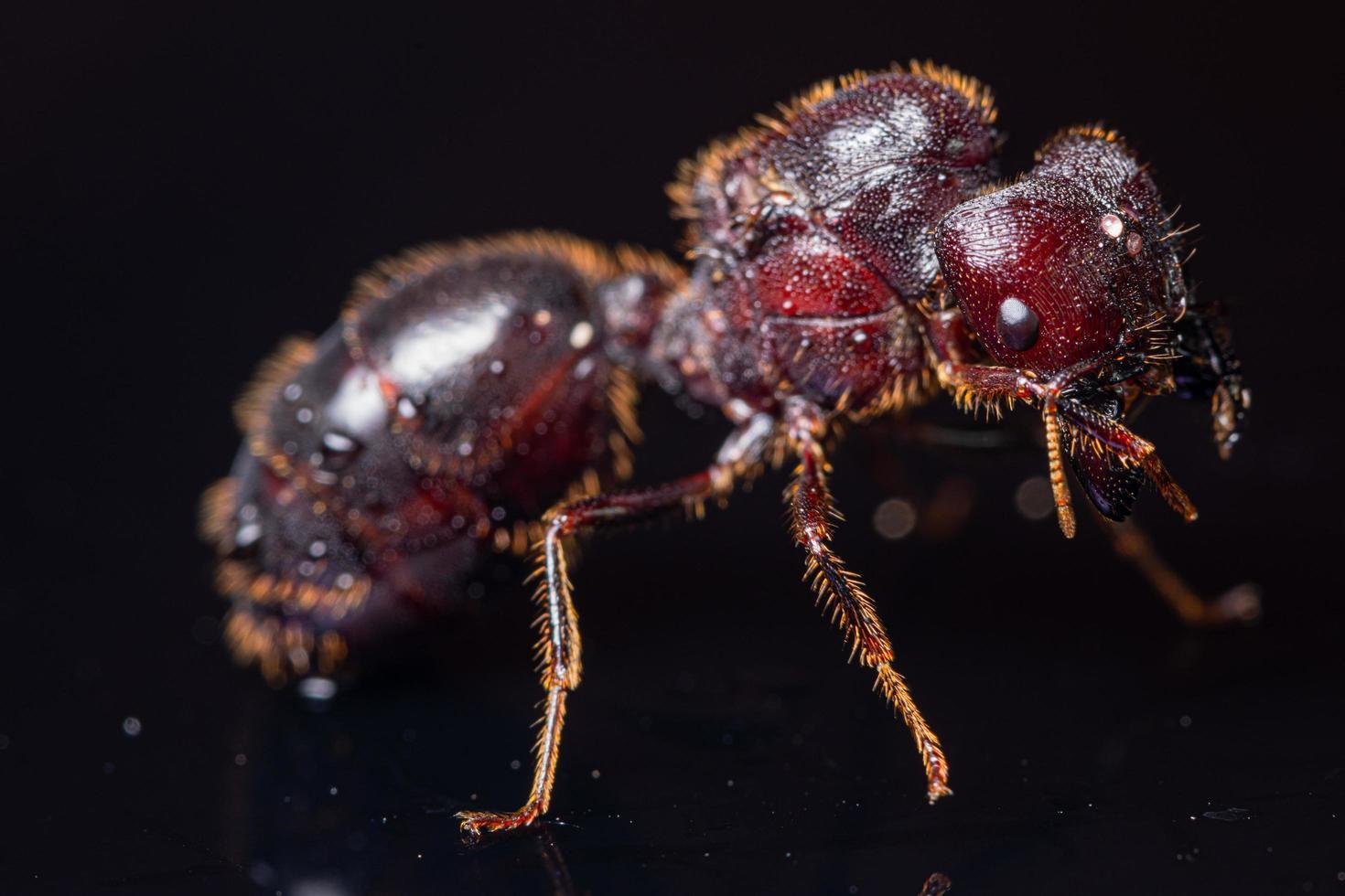 formica marrone rossa su sfondo nero, macro foto