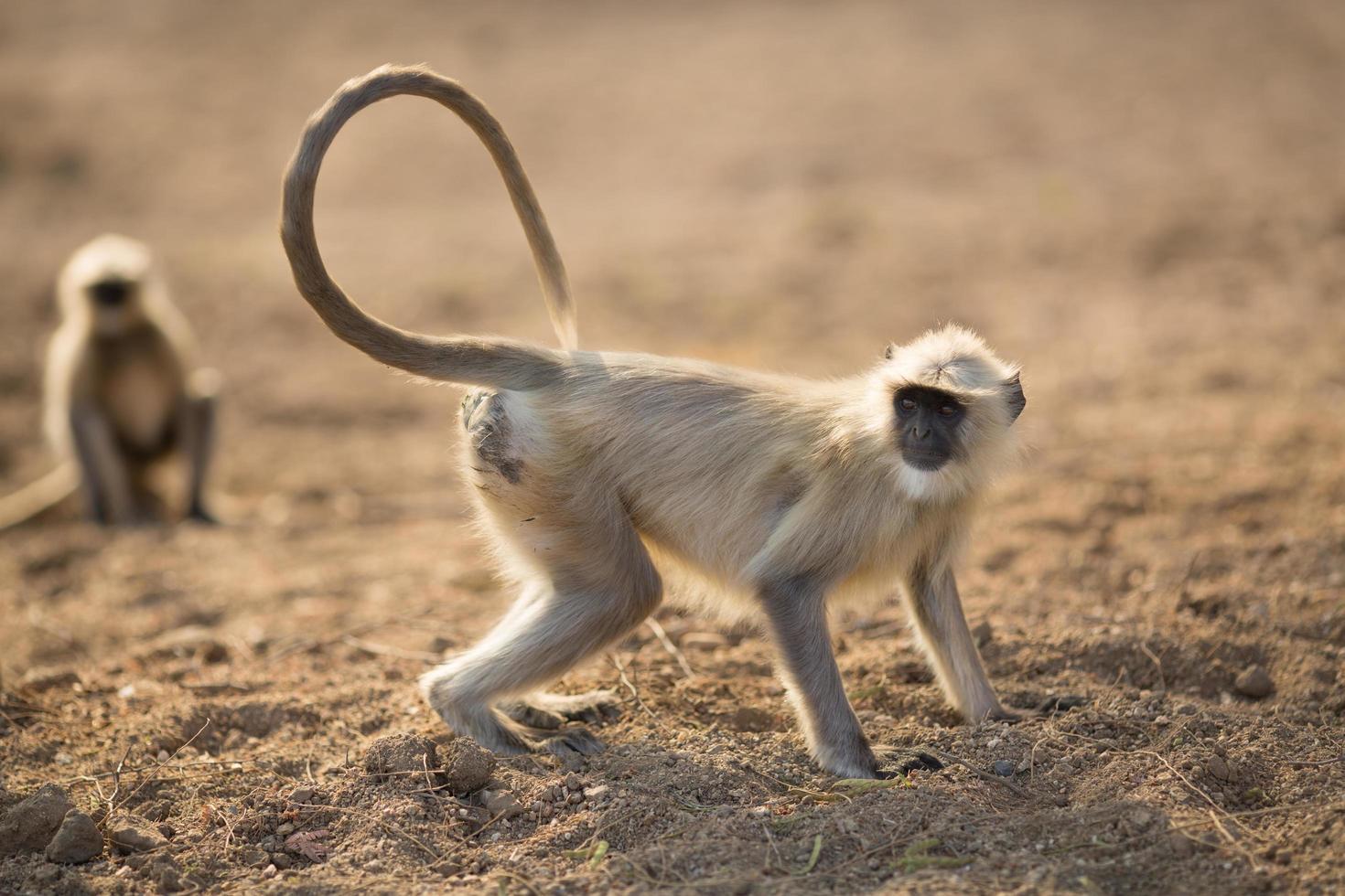 scimmia indiana dalla faccia nera foto