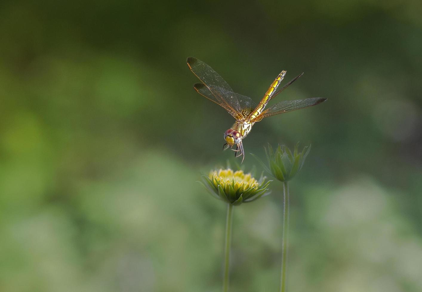 libellula gialla su un fiore foto