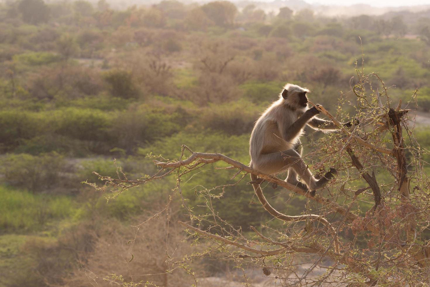 scimmia indiana che si arrampica su un albero foto