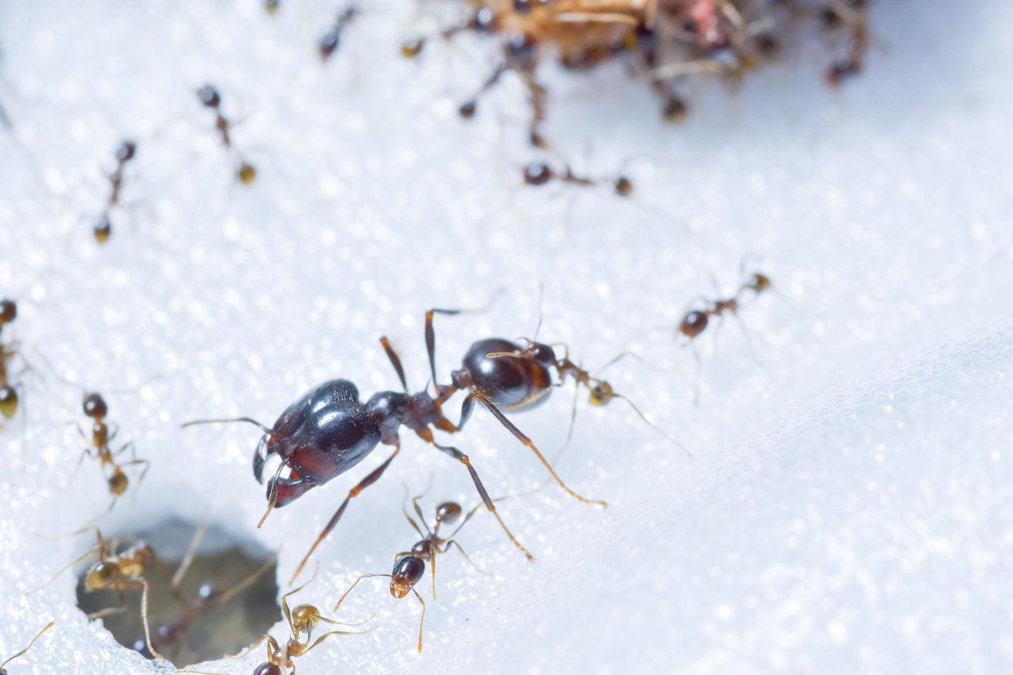 macro di formiche del polo foto