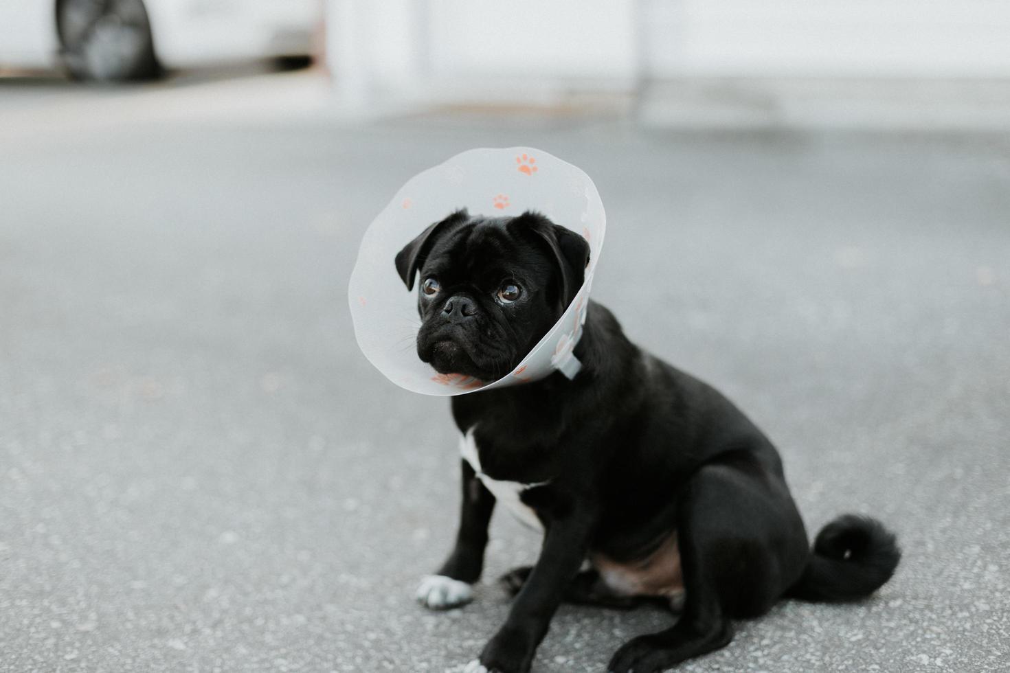 piccolo cane rivestito corto bianco e nero sul pavimento di cemento grigio foto