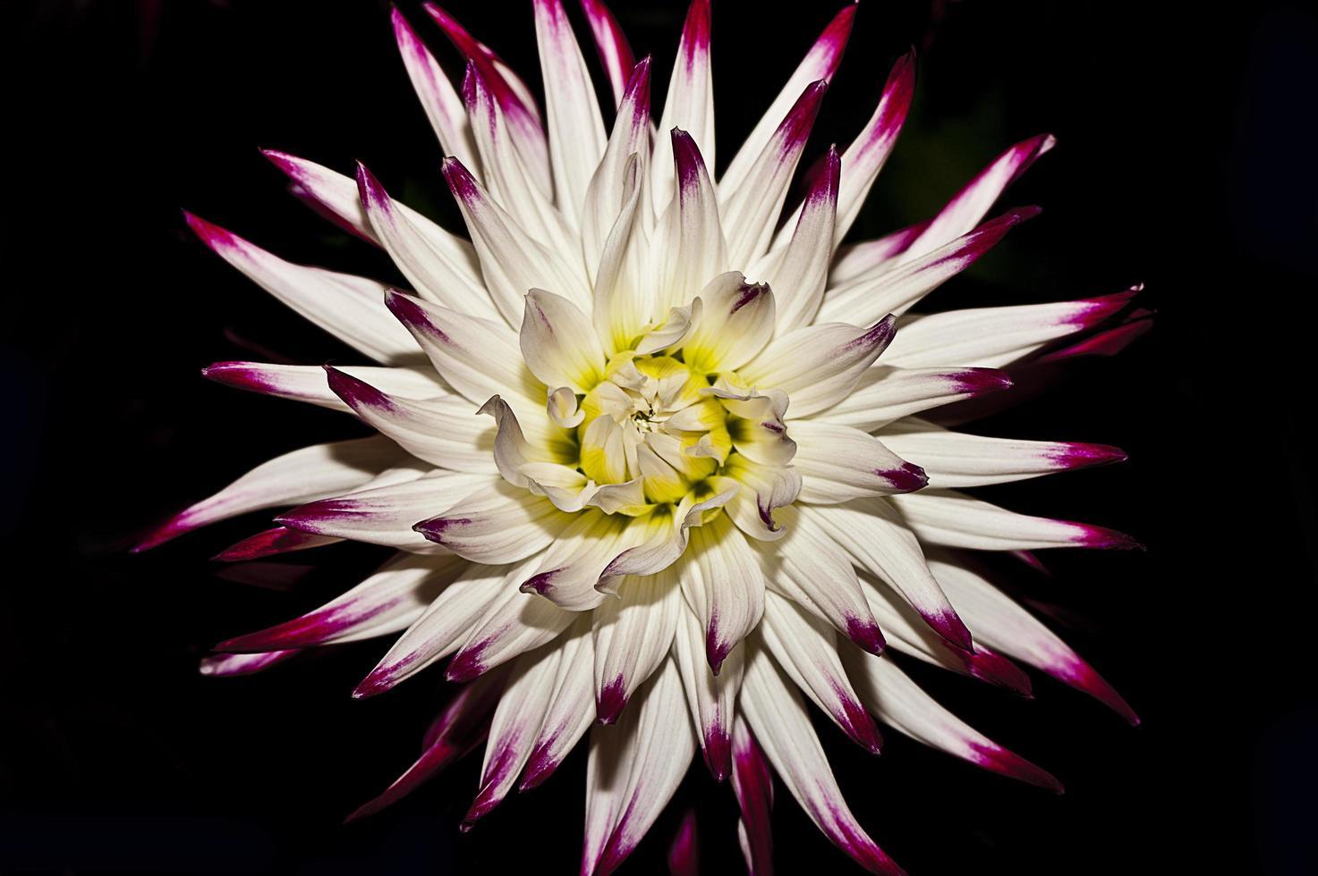 fiore bianco e viola foto