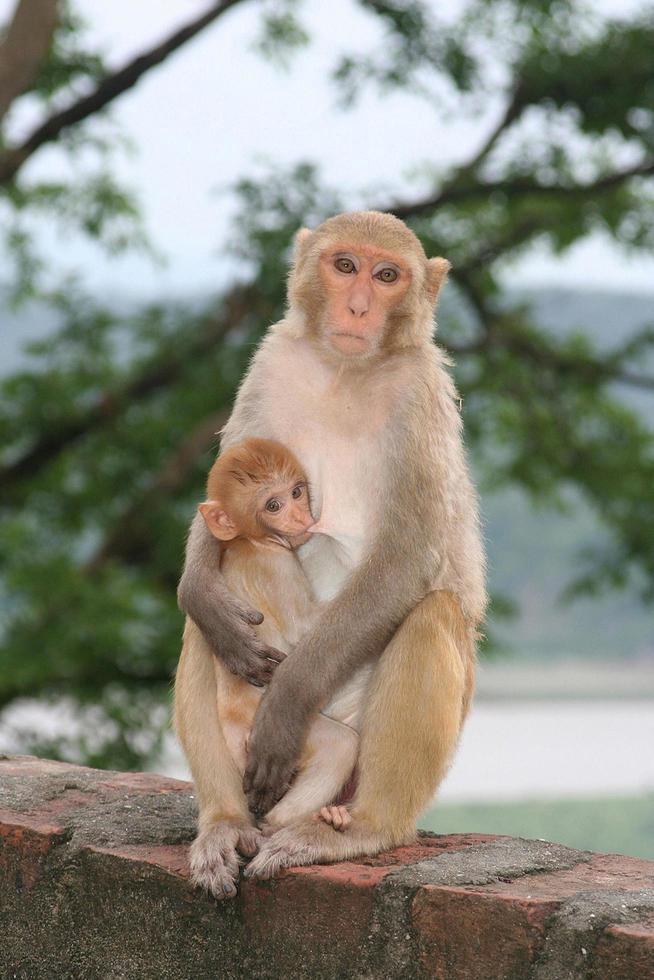 scimmia che allatta il suo bambino foto