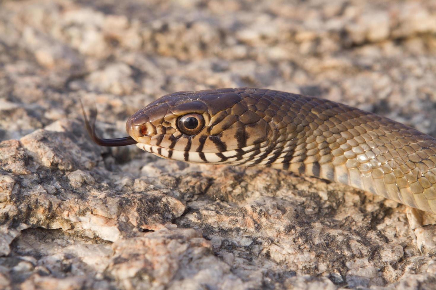 serpente marrone orientale foto