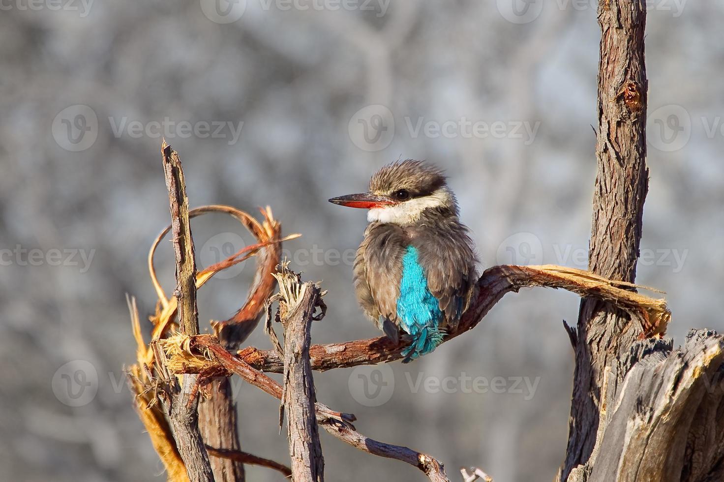 il martin pescatore a strisce appollaiato sul ramo morto foto