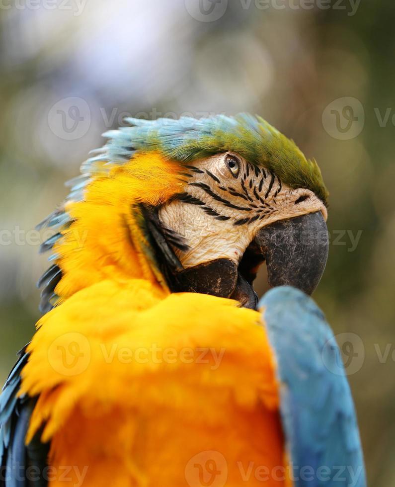 ritratto di un pappagallo blu foto