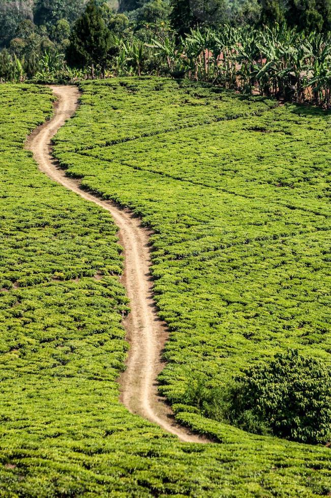 campi di tè verde brillante con strada di sabbia che passa attraverso. foto
