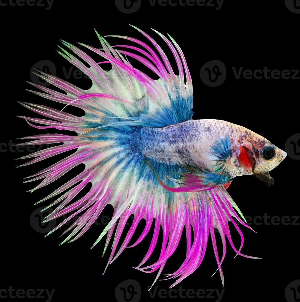 pesce betta, pesce combattente siamese, betta splendens isolato su b foto
