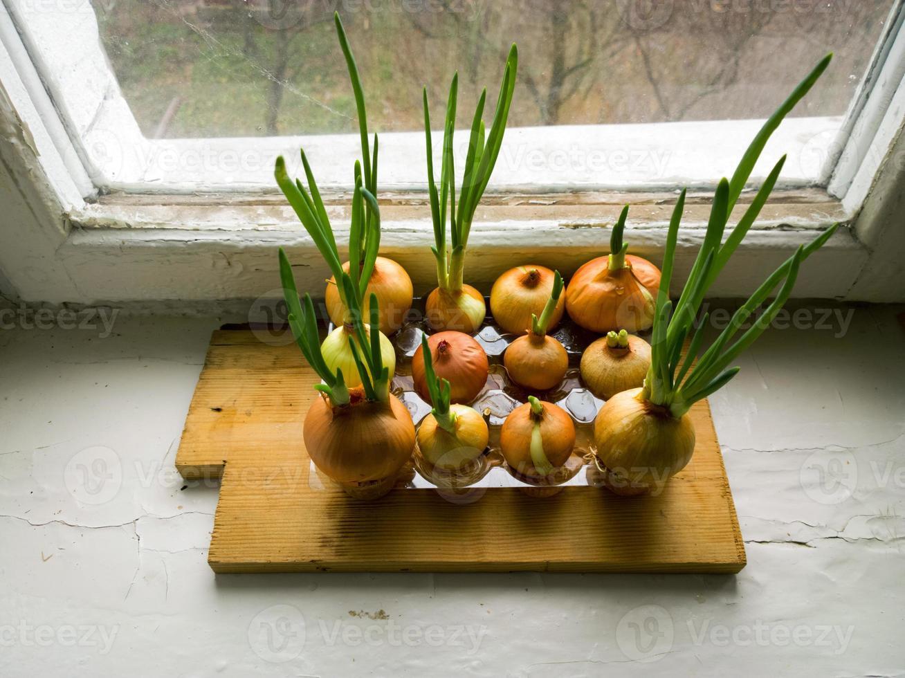 cipolle verdi sul davanzale della finestra. foto