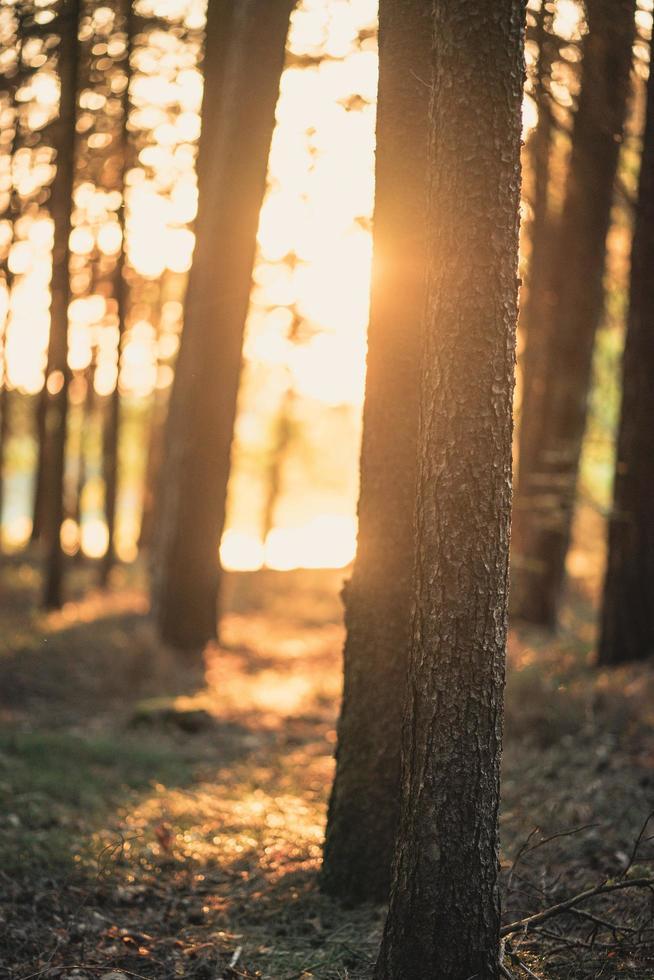 luce solare attraverso un campo di alberi foto