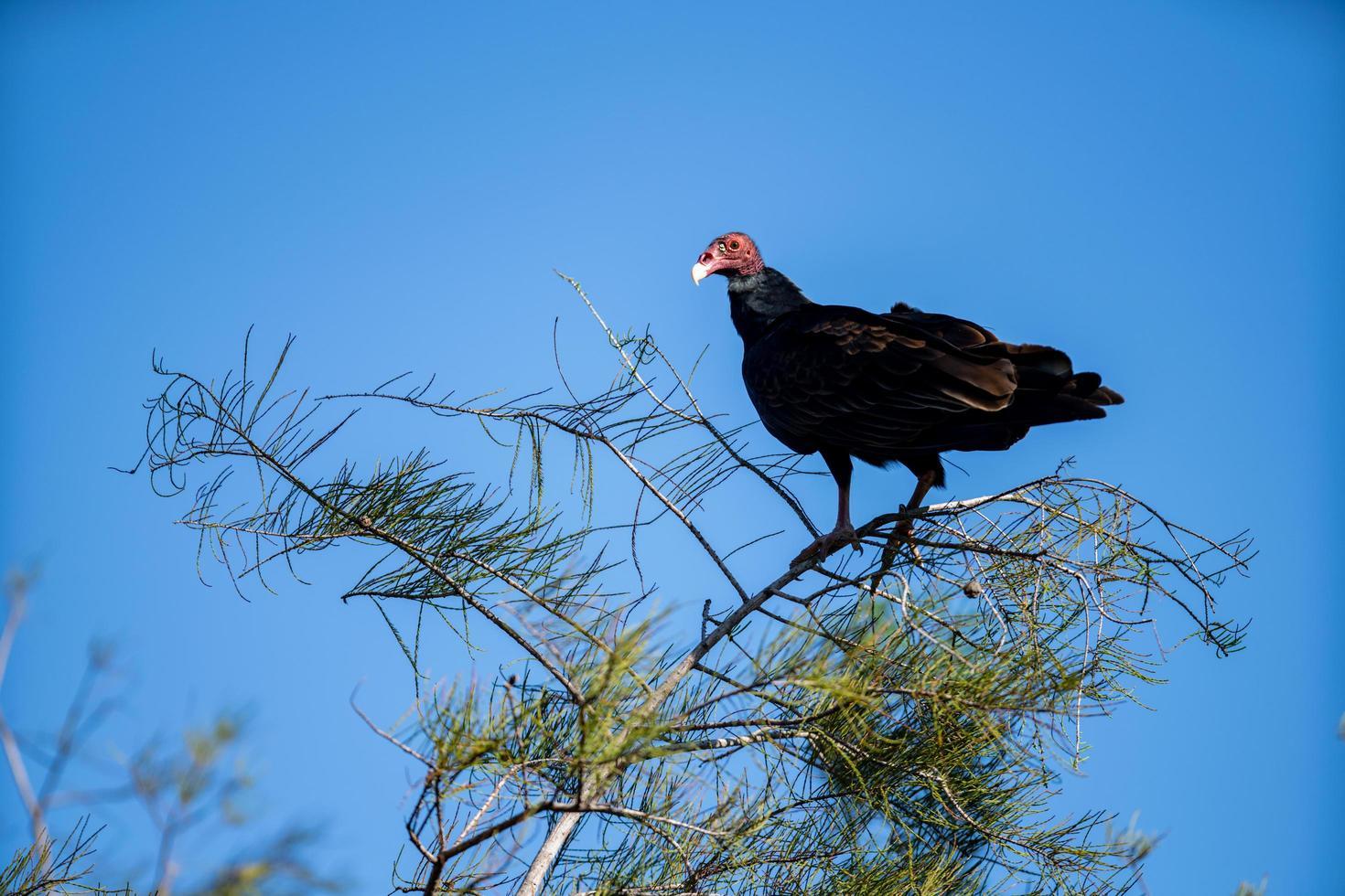 avvoltoio appollaiato su un albero foto