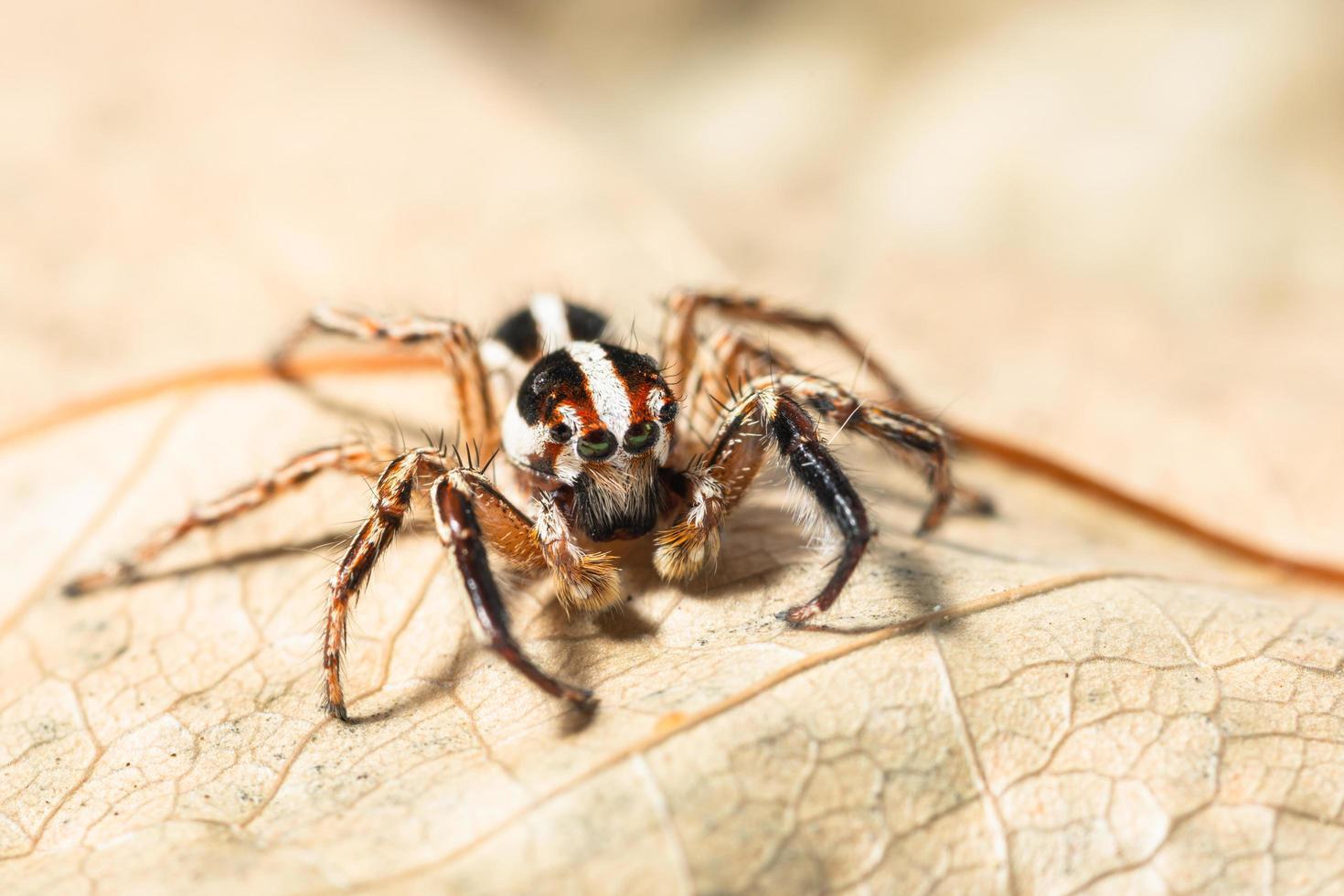 ragno saltatore marrone su una foglia secca foto