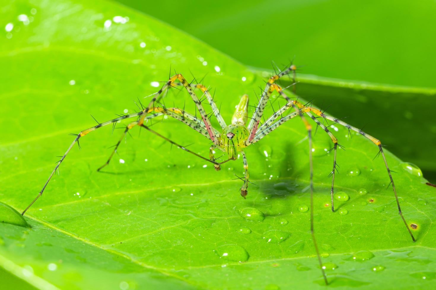 ragno verde su una foglia foto