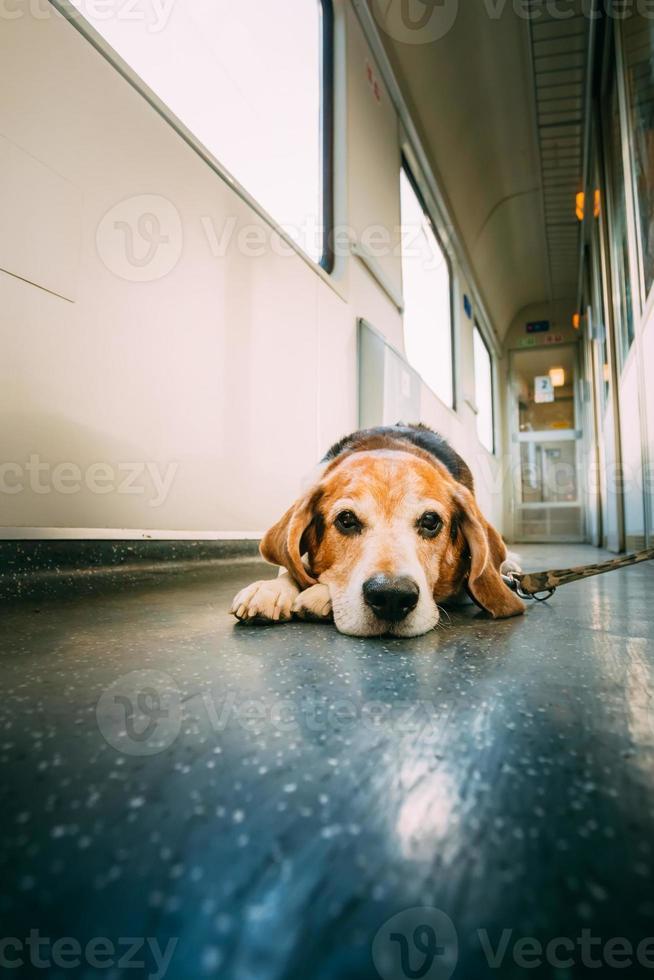 cane da trasporto in carrozza ferroviaria foto