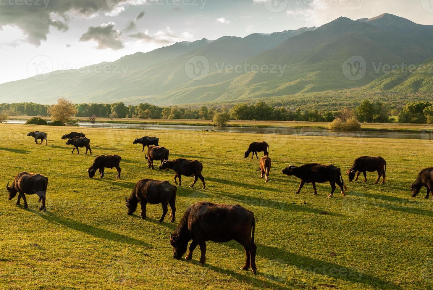 bufali in grecia foto