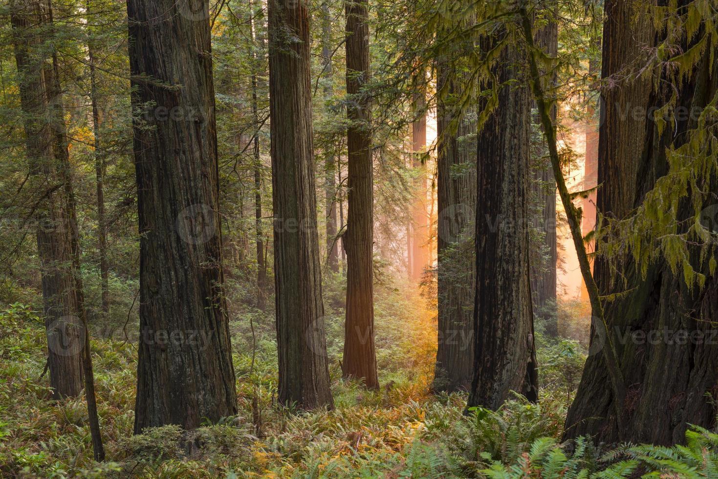 bagliore mistico nel boschetto di sequoie foto