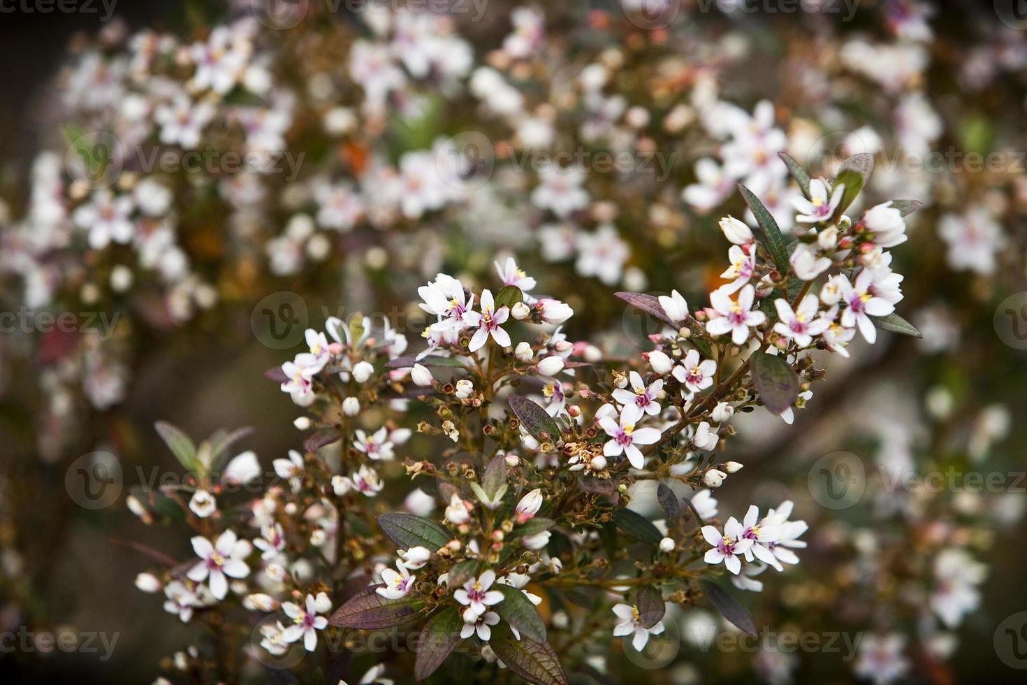 flor do cerrado foto