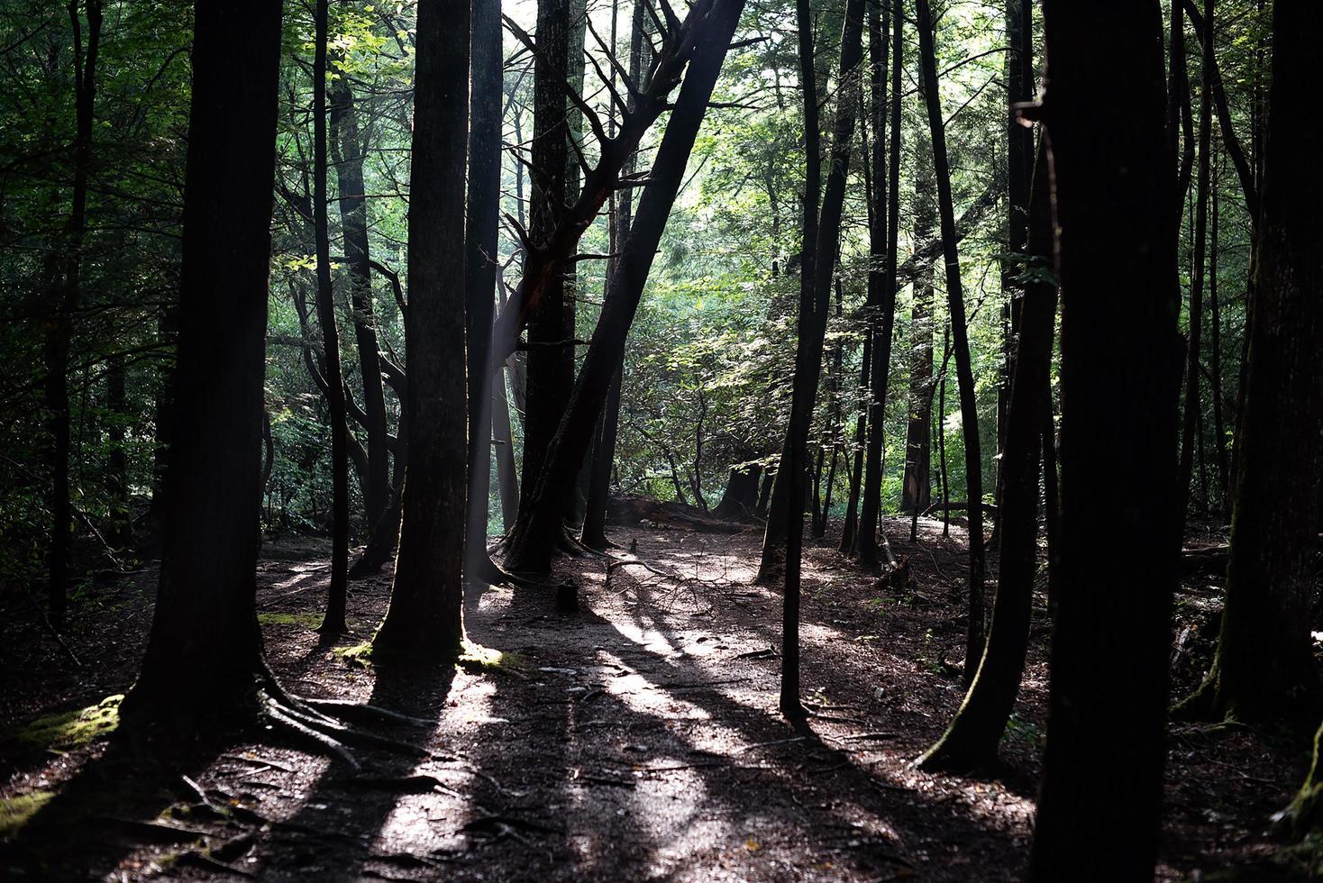 alberi nella foresta foto