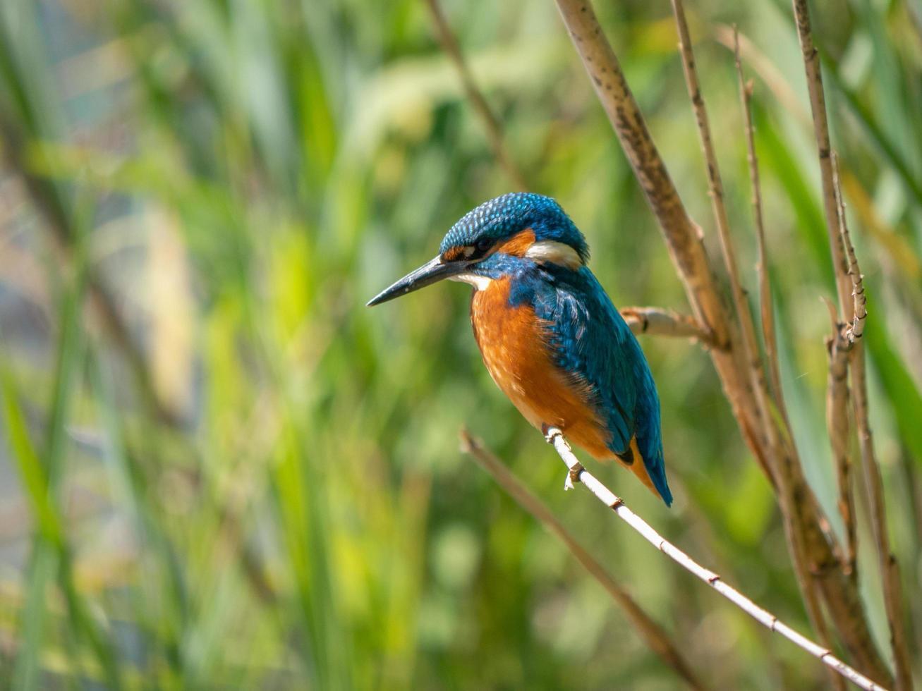 uccello blu e arancione foto