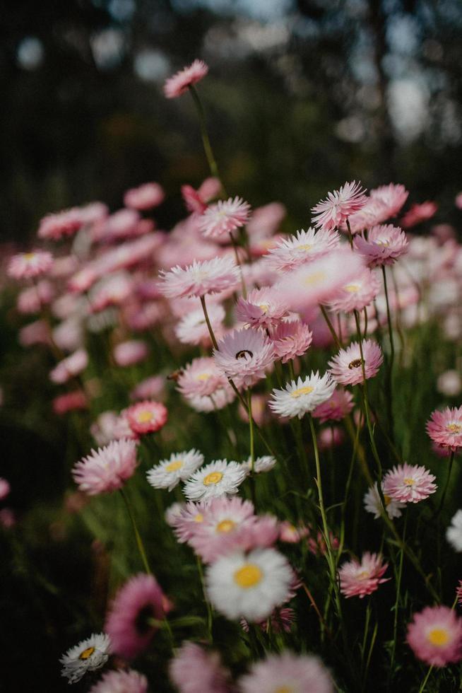 primo piano di fiori rosa e bianchi foto