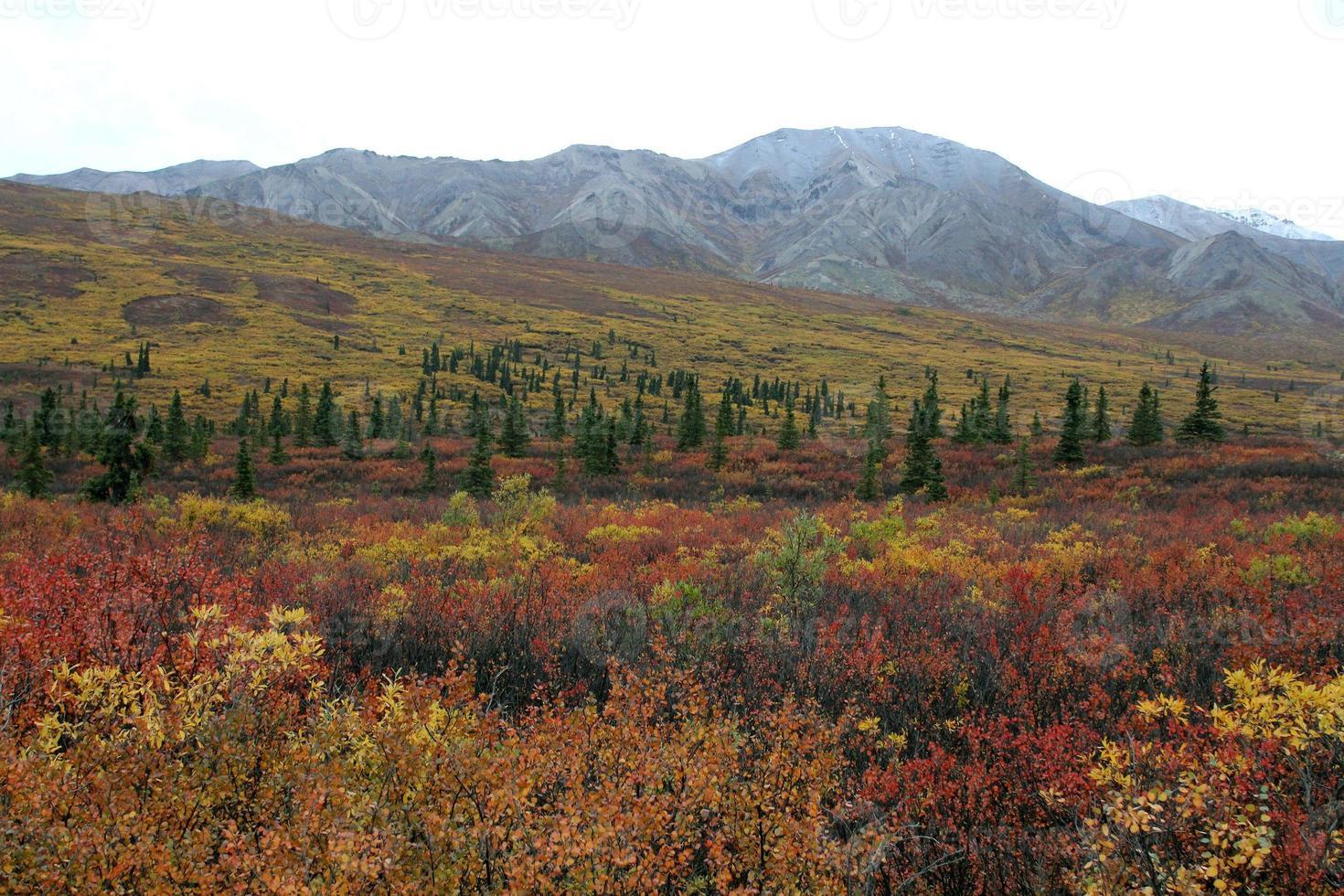 brillante colore autunnale nel parco nazionale di denali in alaska foto