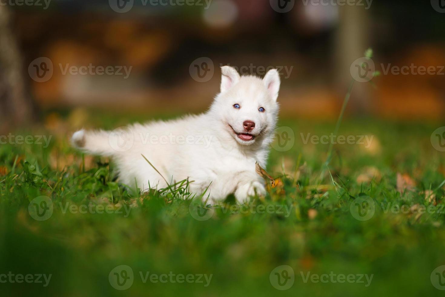 husky sull'erba verde foto